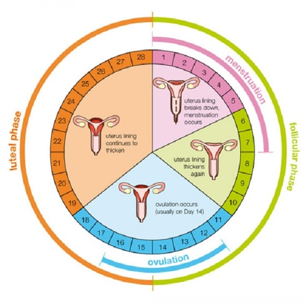 The Ovaries And Ovulation